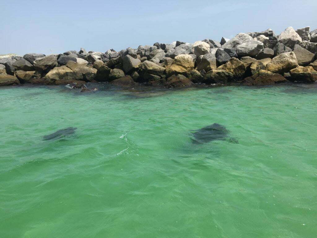 sea turtles panama city beach